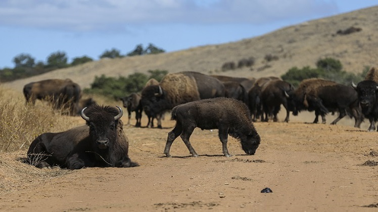 Camp Pendleton Bison Herd