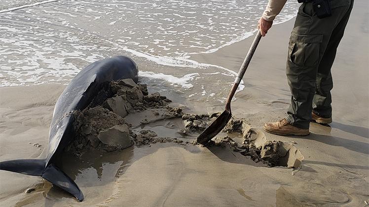 Pygmy Sperm Whale Rescue